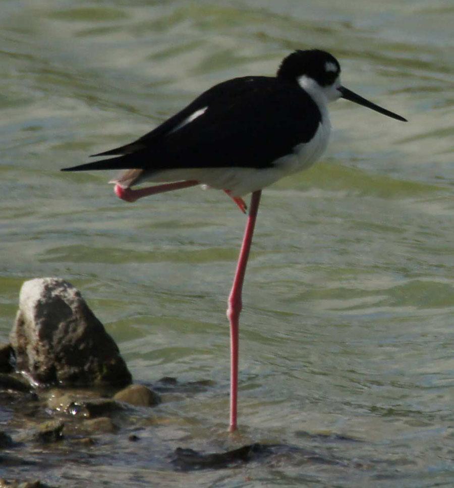 01a-Black-necked-stilt