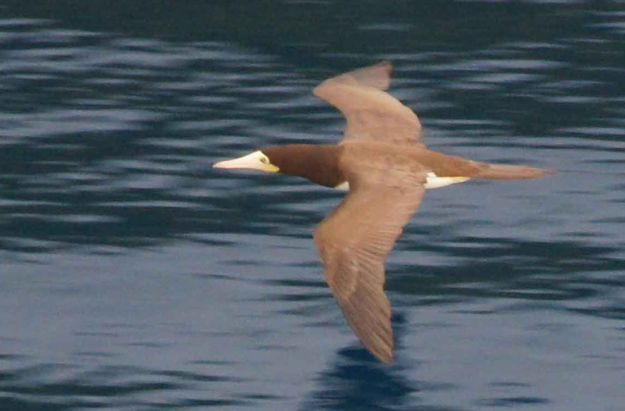 01a-Brown-booby