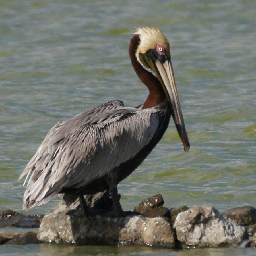 01a-Brown-pelican