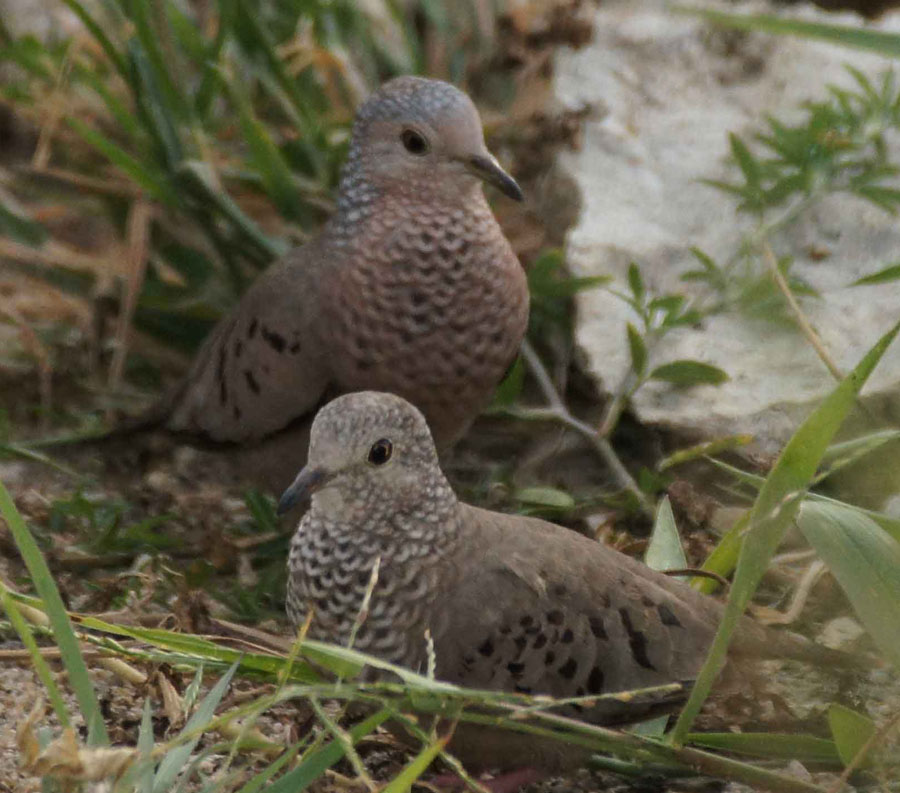 01a-Common-ground-dove