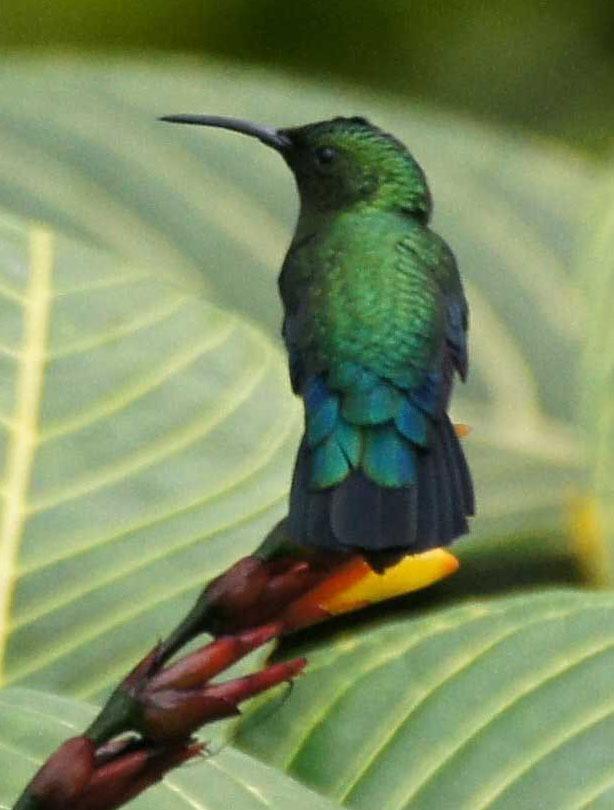 01a-Green-throated-carib (1)