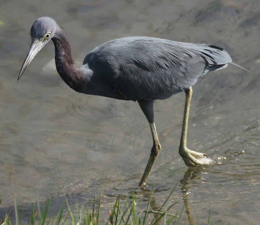 01a-Little-blue-heron
