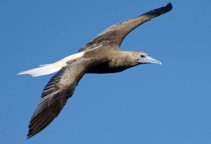 01a-Red-footed-booby