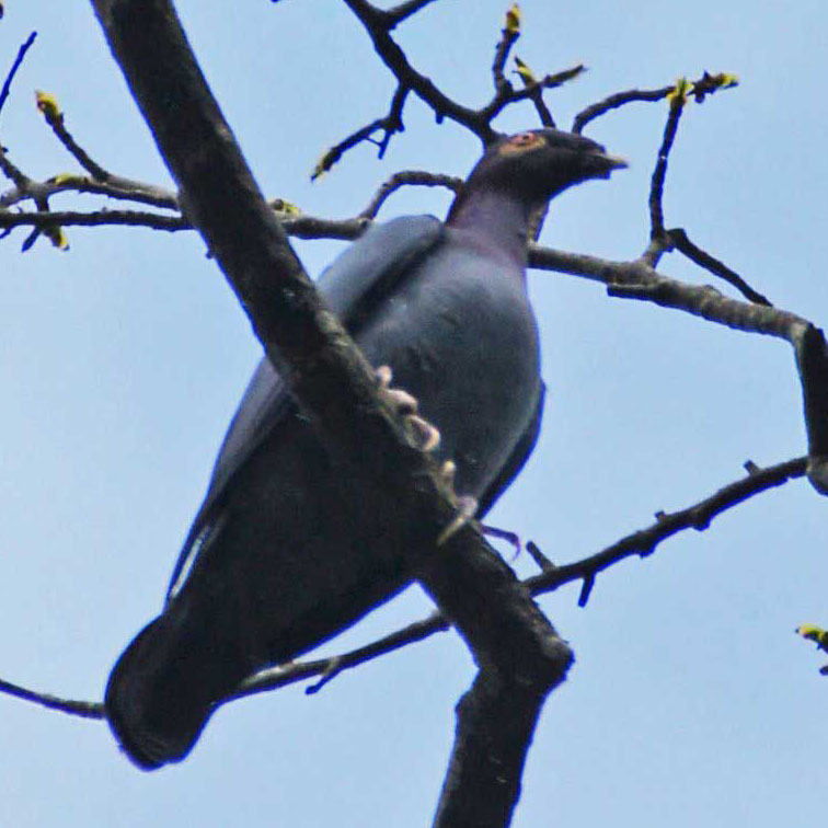 01a-Scaly-naped-pigeon