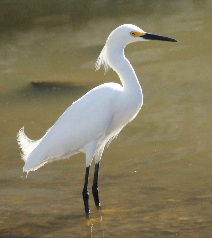 01a-Snowy-egret