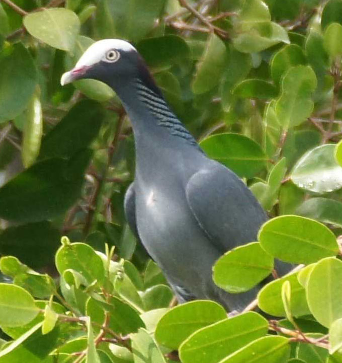 01a-White-crowned-pigeon