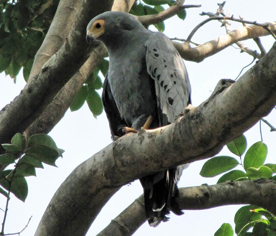 02-01-african-harrier-hawk