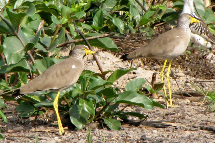 02-02-african-wattled-lapwings