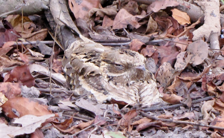 02-04-long-tailed-nightjar