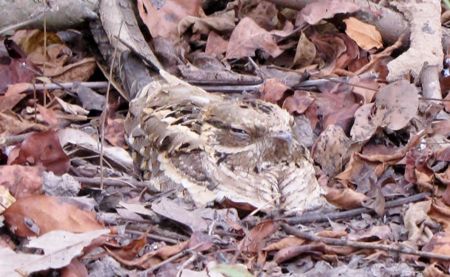 02-04-long-tailed-nightjar