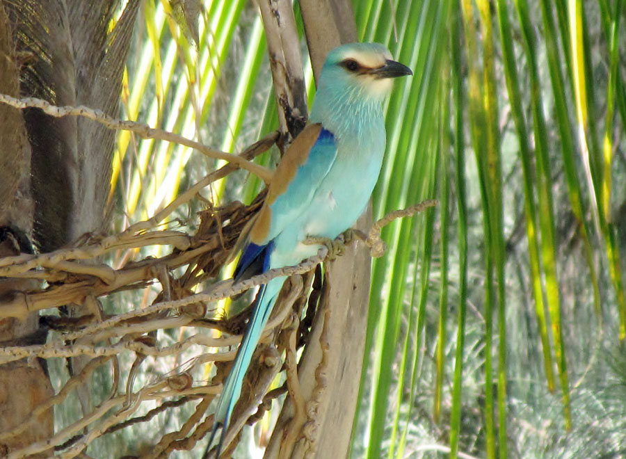 02-06-abyssinian-roller