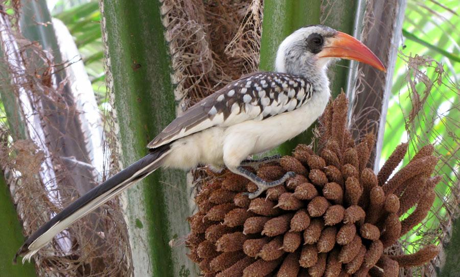 02-07-red-billed-hornbill