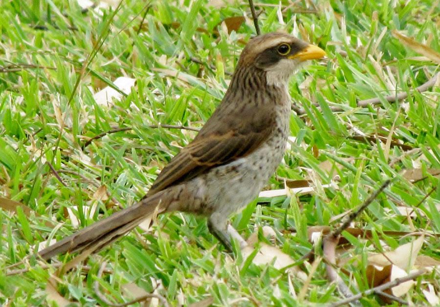 02-09-yellow-billed-shrike