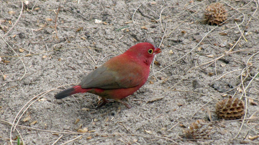 02-12-red-billed-firefinch