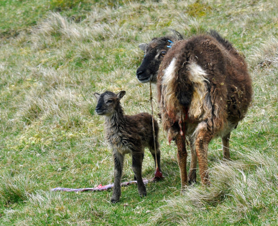 04-07-Soay-Sheep