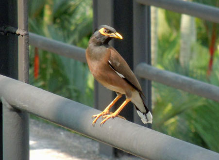 Indian Minor Bird