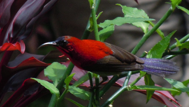 Crimson Sunbird, National Orchid Centre, Singapore