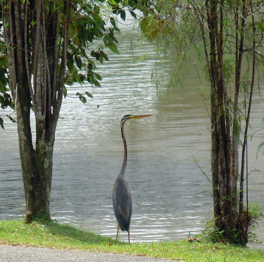Heron in Chinese Gardens, Singapore