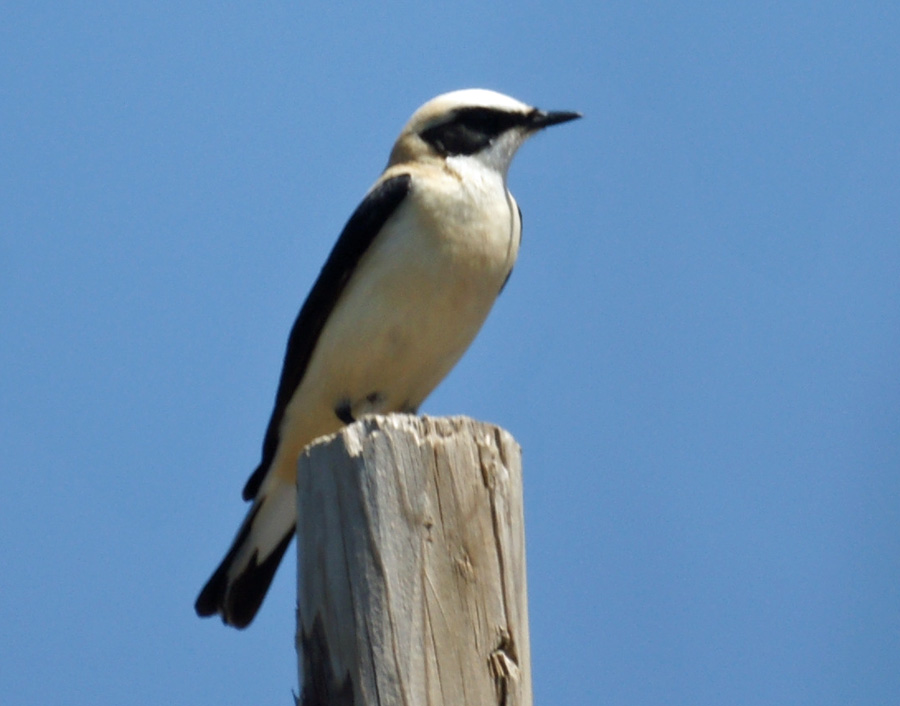 06-14-Black-eared-Wheatear