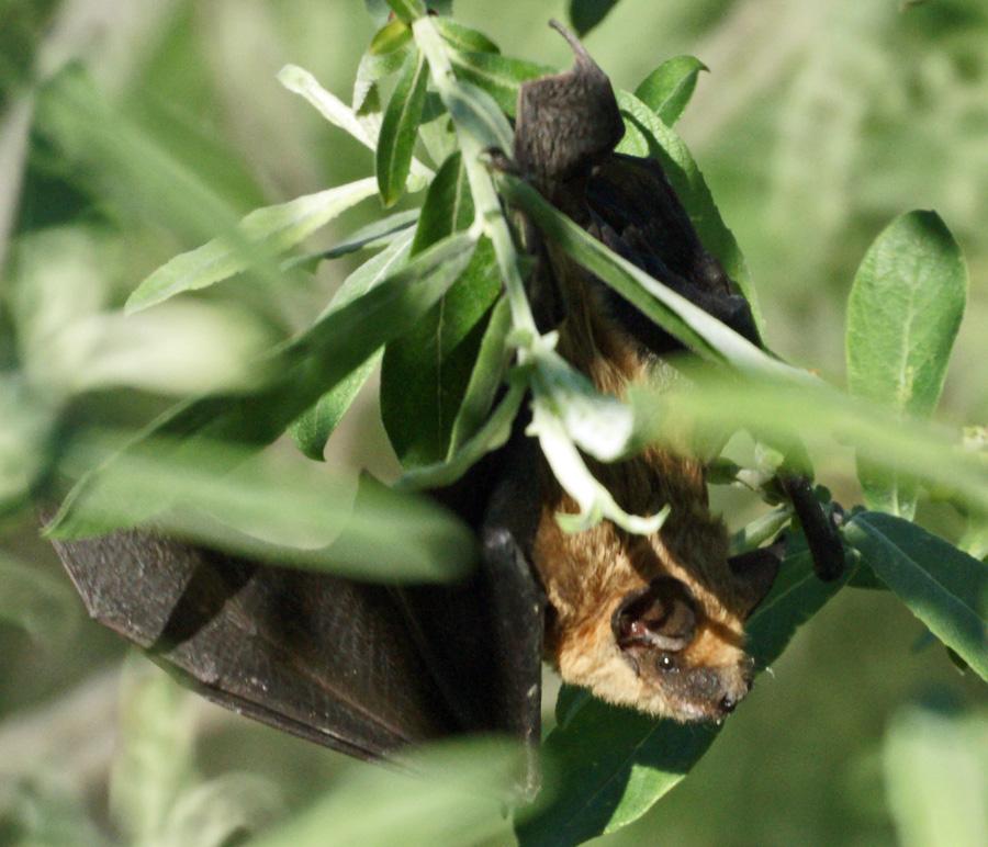 06-22-Serotine-Bat