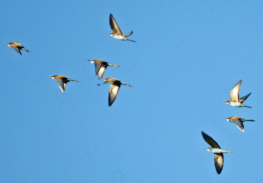 06-24-Bee-eaters