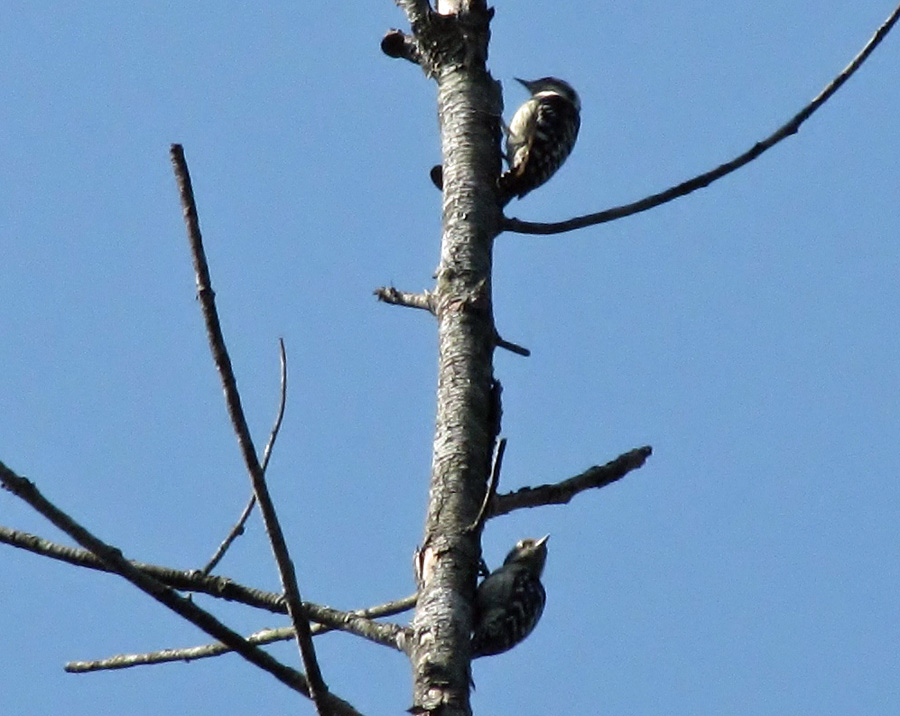 Brown-capped Pygmy Woodpeckers