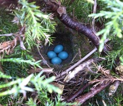Dunnock nest by Ed Drewitt