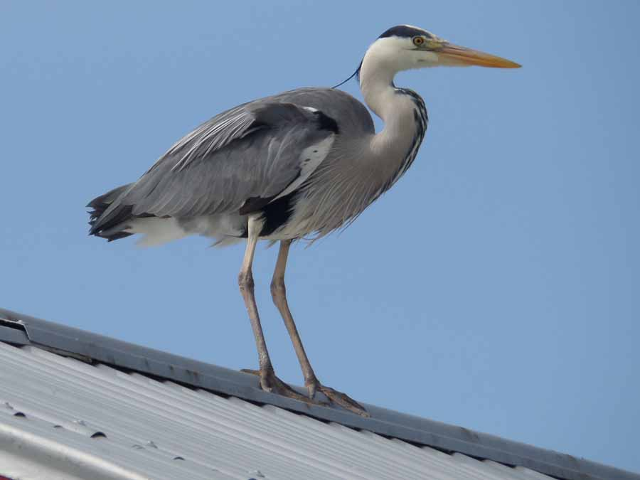 Grey heron on a hot tin roof