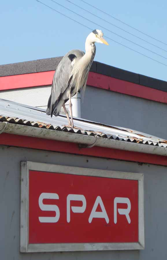 Grey heron at the Spar shop