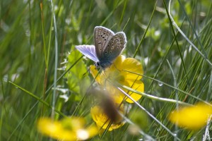 Boc Tue 03 June 2014 Sand Point IMG 5615 Jim Parry Common Blue Butterfly
