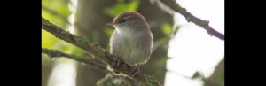 Cetti's Warbler  Mike Landen