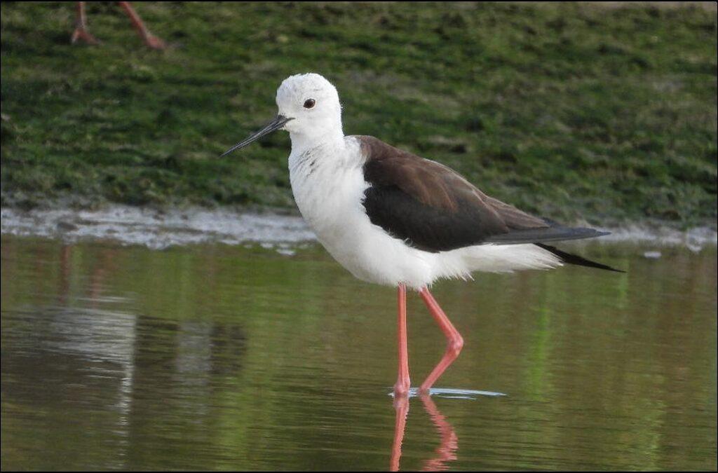 Black-winged Stilt - Paul Bowerman